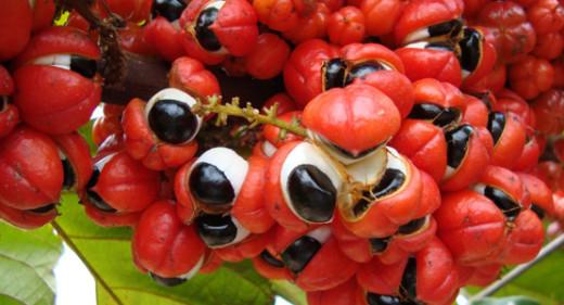 10 benefícios incríveis do Guaraná para saúde