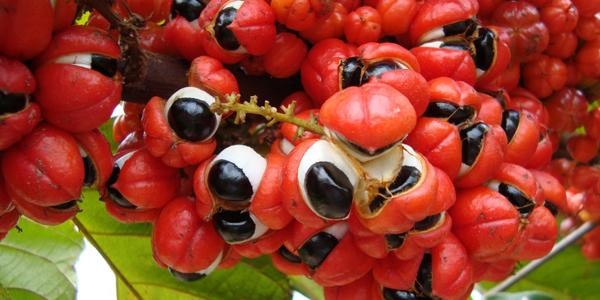 10-beneficios-incriveis-do-guarana-para-saude-natural-brasil